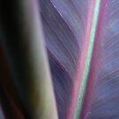 Purple Canna by Framed-Photos