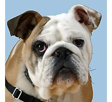 American Bulldog Background Removed Photographic Print