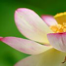 Lotus by Kelvin  Wong