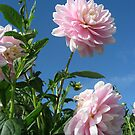 Baby Pink Dahlias by Orla Cahill Photography