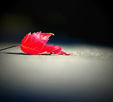 Maple Leaf in Autumn by adriangeronimo