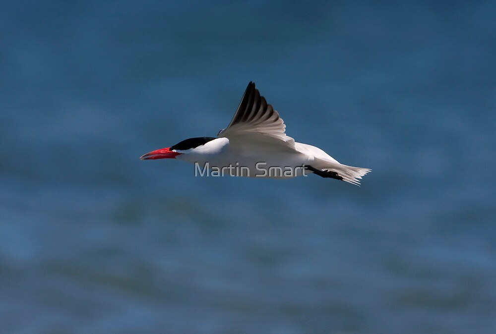 Fleeting Tern by Martin Smart