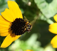 Hoverfly on a Black-eyed Susan by ElyseFradkin