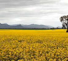 Canola Crop by Lynton Brown