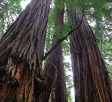 California Redwoods Detail by stevelink