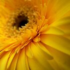 Yellow Gerbera by Framed-Photos