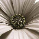 Daisy by Framed-Photos