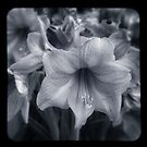 Hippeastrums, ttv b&w version by ozzzywoman