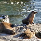 The Seal Family by NancyC