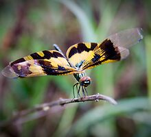 double winged dragon fly by Dinni H