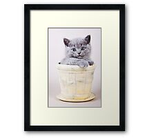 Fluffy gray kitten British in a vase Framed Print