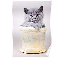 Fluffy gray kitten British in a vase Poster