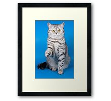 Tabby cat with a raised paw Britan Framed Print