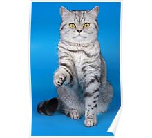 Tabby cat with a raised paw Britan Poster