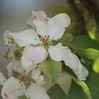 Apple Blossom by Deborah McGrath