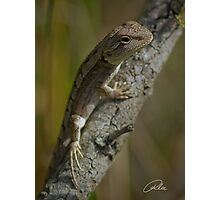 Dendrobium Dragon Photographic Print