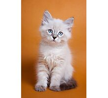 White fluffy Siberian cat Photographic Print