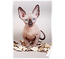 Sphynx kitten with blue eyes, no hair Poster