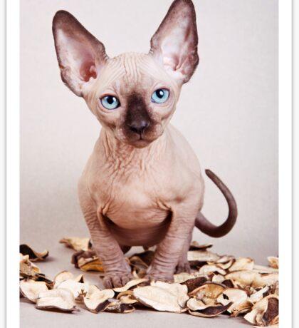 Sphynx kitten with blue eyes, no hair Sticker