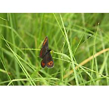 Scotch argus butterfly Photographic Print
