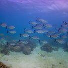 Highfin Rudderfish, Ningaloo Reef by Erik Schlogl