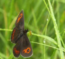 Scotch argus butterfly Sticker