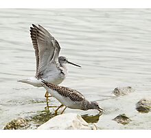 A Pair Of Greater Yellowlegs Photographic Print