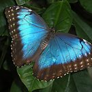 Common Blue Morpho Butterfly by Ocean1111