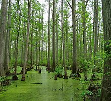 Cache River Swamp by Sandy Keeton