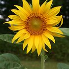 Summer Sunflower by Nadine  Birge