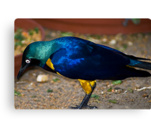 Royal Starling - Golden Breasted Starling Canvas Print