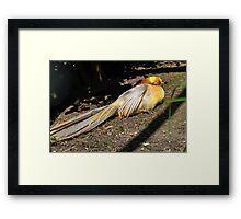 Golden Pheasant at Abbotsbury , Dorset UK Framed Print