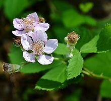 Blackberry Flowers by Scott Mitchell