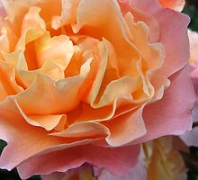 Tissue Crunch Rose by Orla Cahill Photography