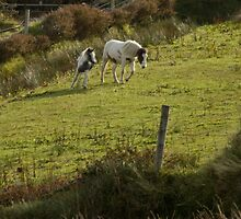 horses on dingle peninsula by Kevin Sweeney