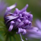 Purple Aster by DJ Fortune