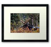 Bull Moose Framed Print