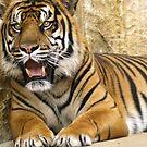 Tiger sittin pretty by kellimays