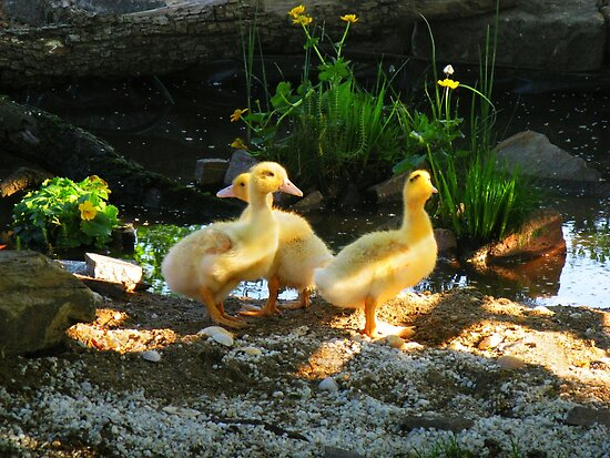 Goslings by the pond by Detlef Becher