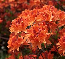 Rhododendron flowers by Zosimus
