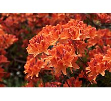 Rhododendron flowers Photographic Print