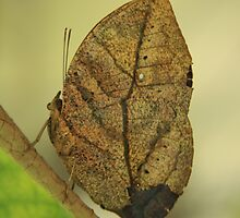 Butterfly Camoflage by noffi