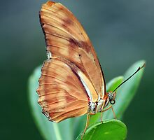 Julia Butterfly by noffi