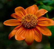 Tithonia Rotundifolia by maileilani