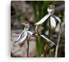 Stegostyla gracilis Musky Caladenia/Musky Caps Orchids Christmas Hills 20091005 2753 Canvas Print