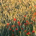 Poppies in cornfield by nordvil