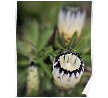 White Protea with Lensbaby Poster