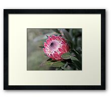 Red Protea with Lensbaby  Framed Print