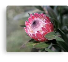 Red Protea with Lensbaby  Canvas Print