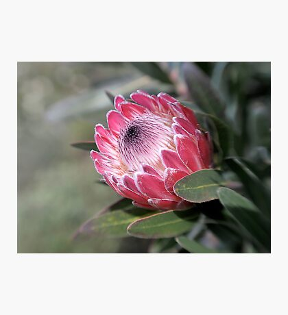 Red Protea with Lensbaby  Photographic Print